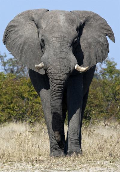 In 5 stappen leren samenwerken met een olifant.